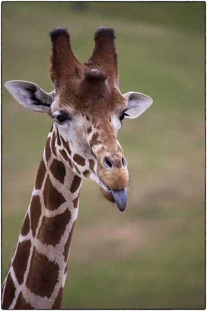 Смешные дикой природы, 5N4A8583 по pb.fletch на Flickr. # Lol жирафа ...