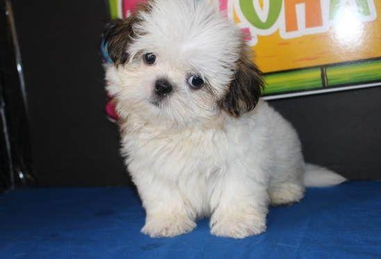 79 Black Shih Tzu Puppies For Sale Near Me In 2020 Shitzu Puppies Puppies Shih Tzu Puppy