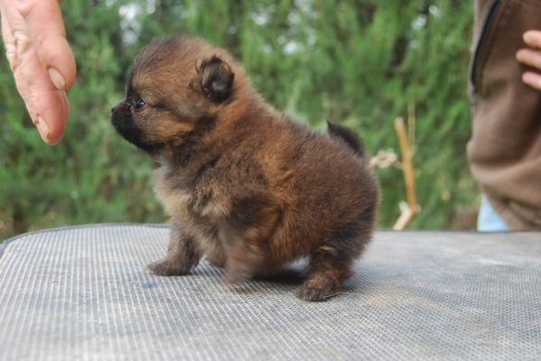 Pomerania de la Bulería - Cachorros y ejemplares en venta.