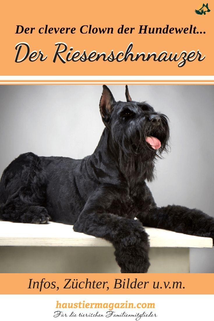 Riesenschnauzer Steckbrief Mit Fci Klasse Und Mehr In 2020 Riesenschnauzer Schnauzer Hunderassen
