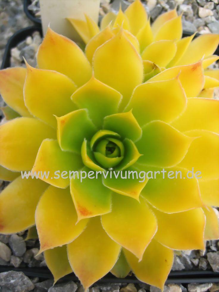 Jovibarba heuffelii 'Lemon Sky', von - Sempervivumgarten