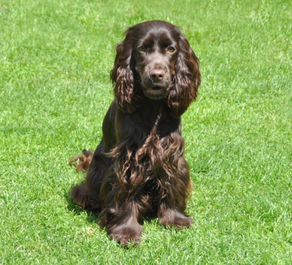 Chocolate English Cocker Spaniel