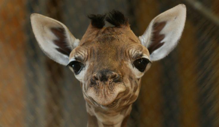 April The Giraffe: Cam Rolls On As Keeper Visit Cut Short, 'Not Much Longer' Now