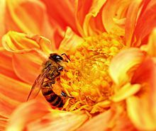 An Africanized bee extracts nectar from a flower as pollen grains stick to its body in Tanzania