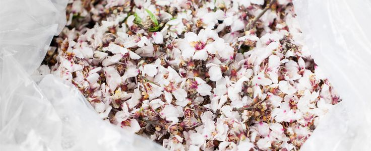 Almond Blossom #extraction #danis #ourpeople