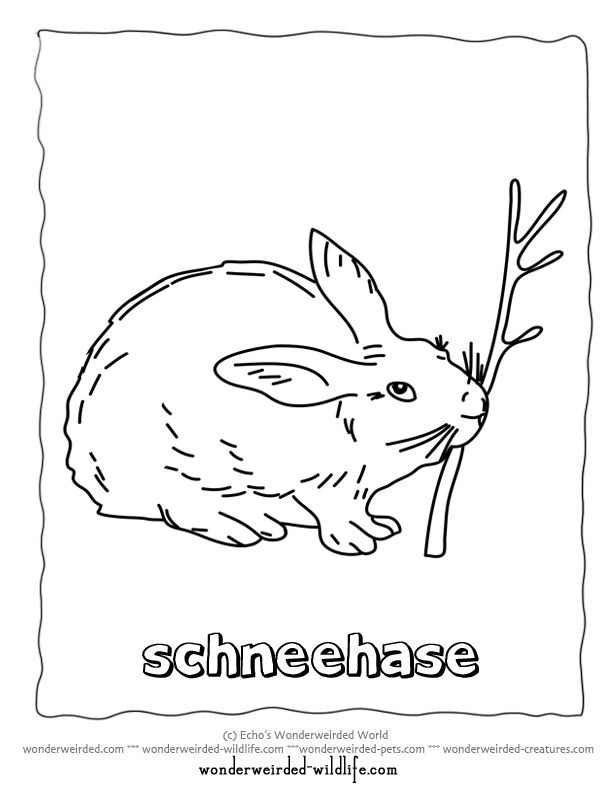 Printable Hare Coloring Pages Arctic