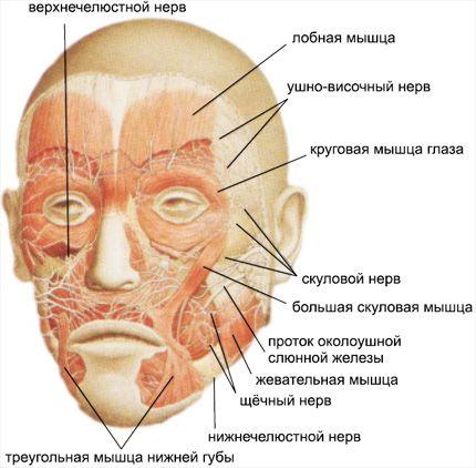 нервы лица анатомия