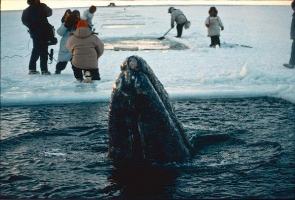 "Big Miracle: The Real Rescue in Images One Feb. 3, the movie ""Big Miracle,"" based on the true story of the rescue of stranded gray whales off the coast of Alaska, opened in theatres, dramatizes the events of October 1988. Early in the rescue, the three gray whales were breathing through small holes to get air. Inupiat hunters came to help cut bigger holes in the ice through the whales, using their significant knowledge of the area and the ice.  Credit: NOAA"