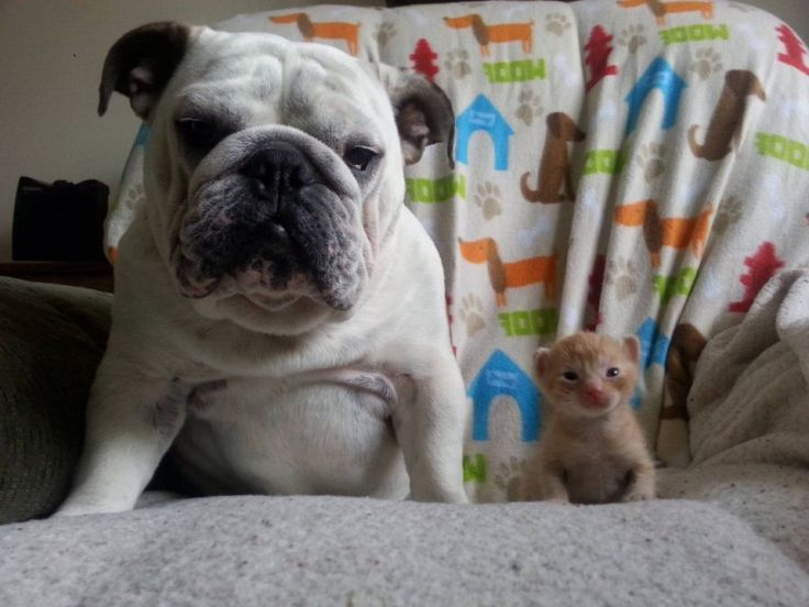 Adorable! Hammie the Bulldog Helps Foster Kittens (PHOTOS)