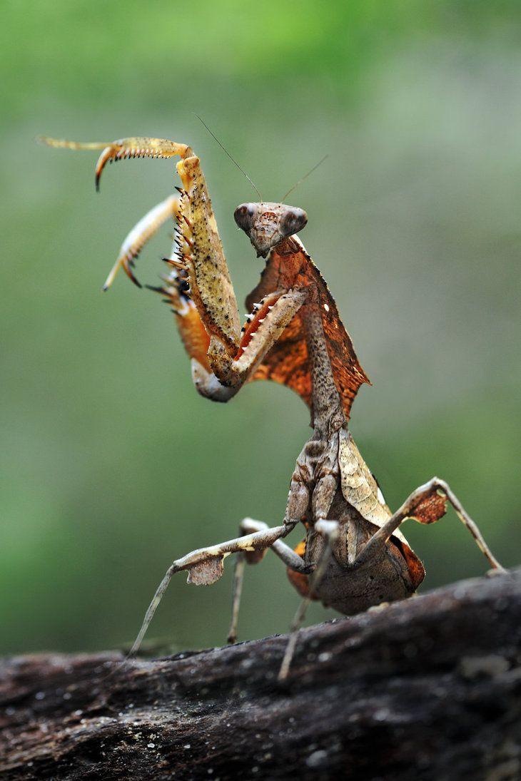 Mantis by  SAMLIM