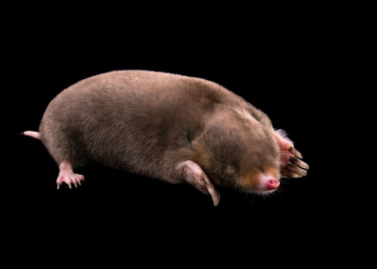 Picture of Eastern Mole (2449460)