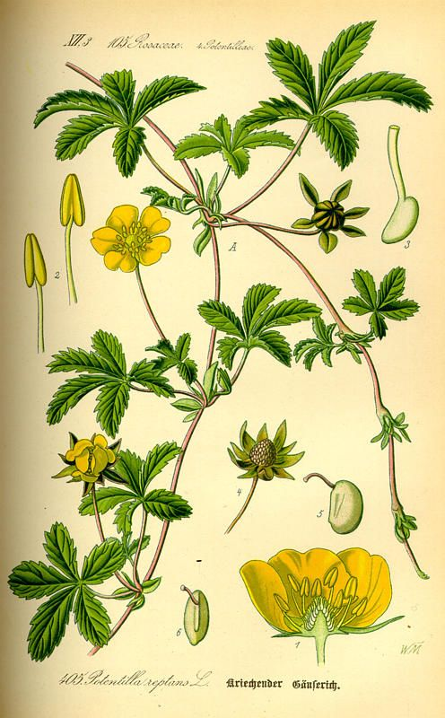 """Flora von Deutschland Österreich und der Schweiz (1885) Cinquefoil"""""""