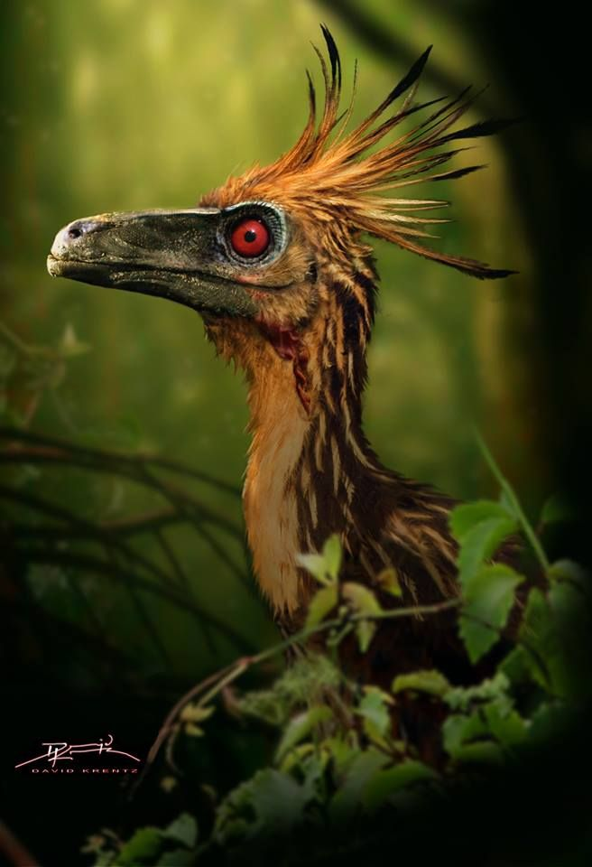 Best Pics of Hoatzin (Opisthocomus hoazin) birds - scary birds