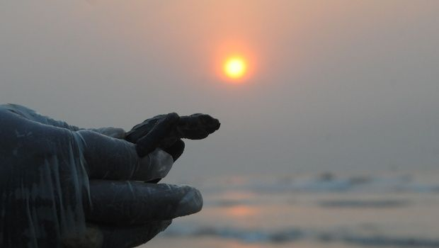 Hundreds of Olive Ridley Turtles Released Into Bay of Bengal - The New Indian Express