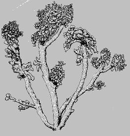 Lichen Illustrations  By Alexander Mikulin (mag@proaxis.com)   Stereocaulon botryosum