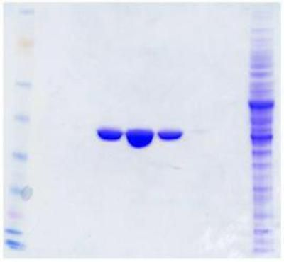 Immunoprecipitation: DYKDDDDK Epitope Tag Antibody (4C5) [NBP1-71705] - Protein purification of human protein from over-expression cell lysate with anti-DDK antibody affinity column.