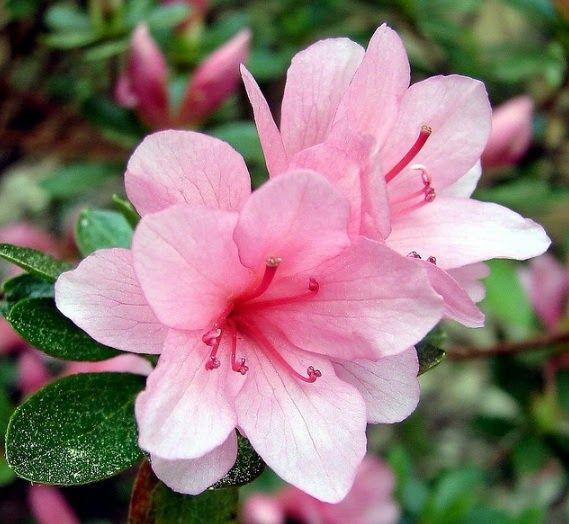 10 Lukisan Bunga Pucuk Daftar Nama Bunga Lengkap Beserta Gambar Dan Penjelasannya Download Balidenpasartrading Download Kemba Di 2020 Bunga Aster Menanam Bunga