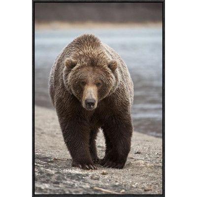 Global Gallery Grizzly Bear, Katmai National Park, Alaska by Matthias Breiter Framed Photographic Print on Canvas – Wayfair.com
