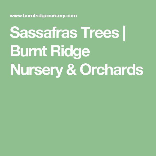 Sassafras Trees | Burnt Ridge Nursery & Orchards