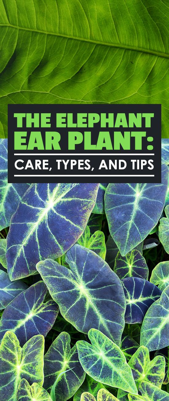 The elephant ear plant has a long and storied history and is a great garden addition. Learn elephant ear plant care, types, and complete growing tips.