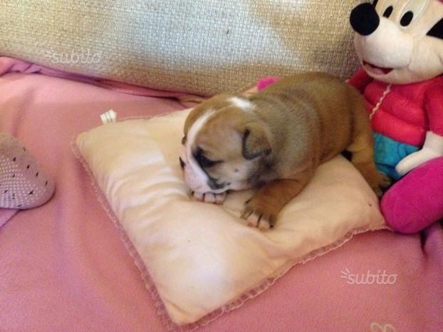 Prenotabili splendidi cuccioli di bulldog inglese - Animali In vendita a Brescia