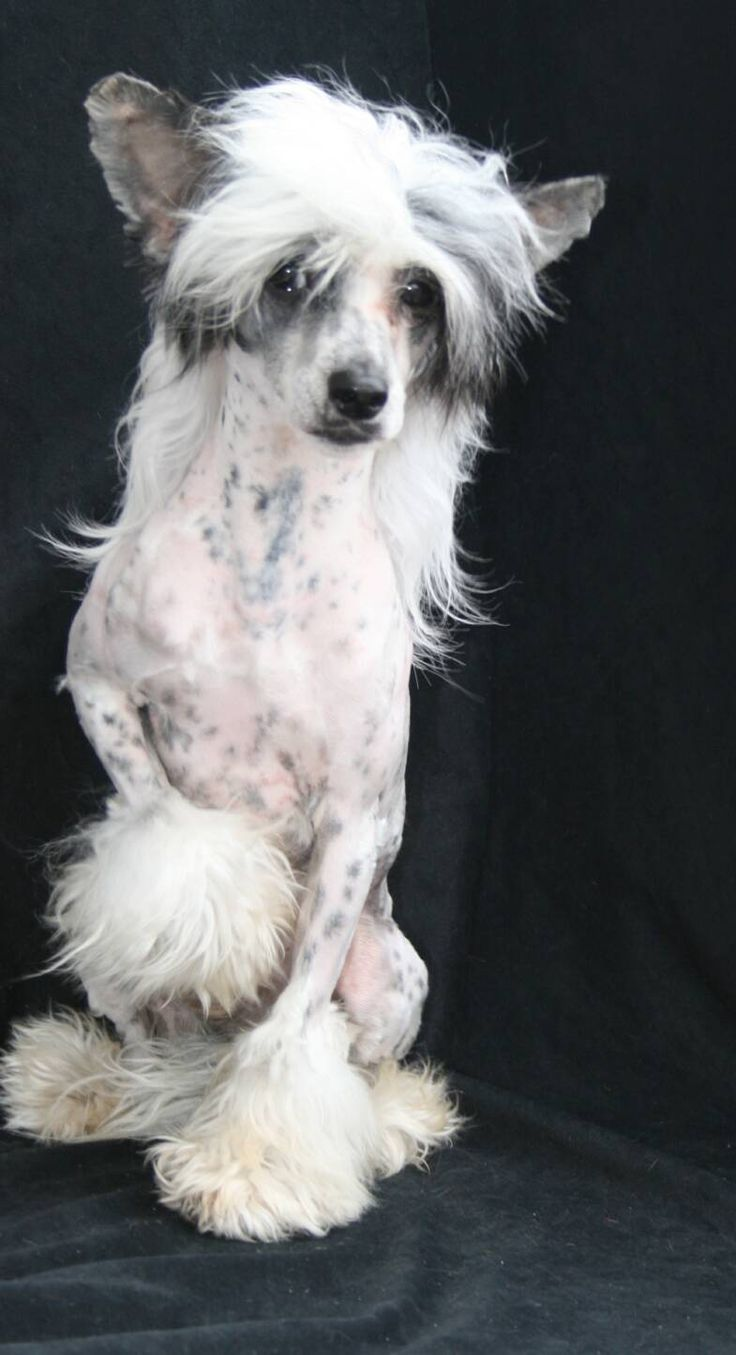 128 Best Chinese Crested Images On Pinterest Chinese