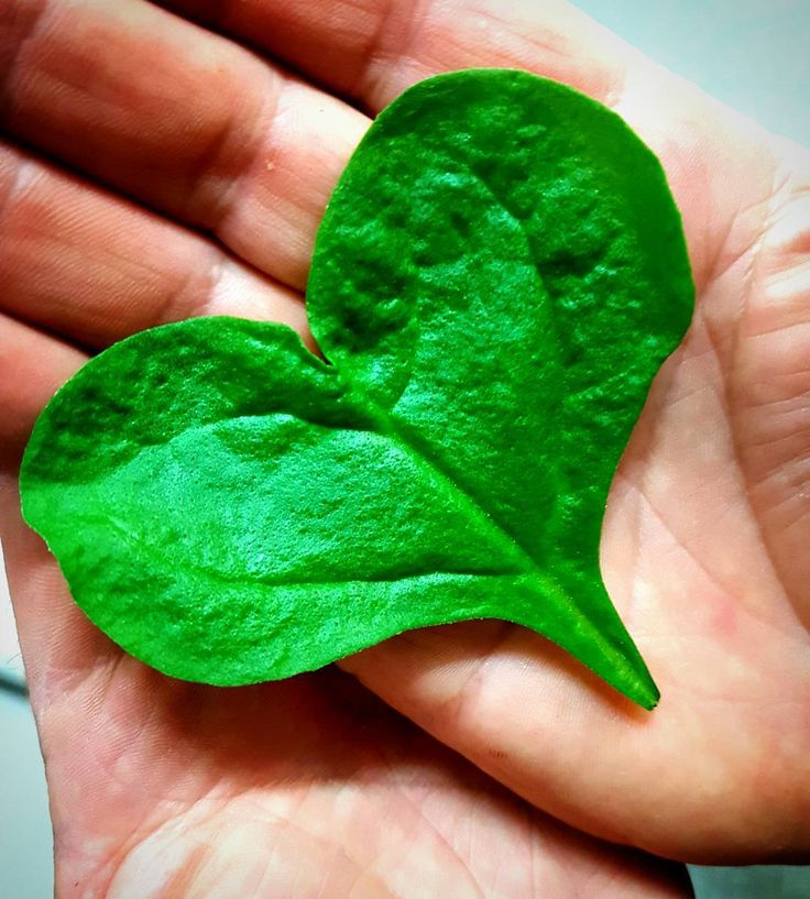 While picking #Warrigal greens .... #Anne found this little leaf ... and sends love and good wishes to the #romantics for #valentines day tomorrow.  Grown with extra #love at #reedycreek for #outbackpridefresh