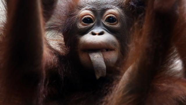 Orang-oetan geboren in Apenheul | NU - Het laatste nieuws het eerst op NU.nl