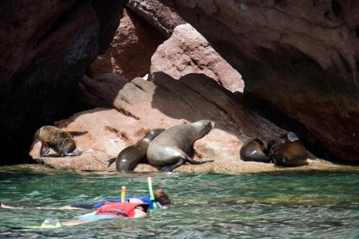Snorkel with friendly Sea Lions in La Paz!