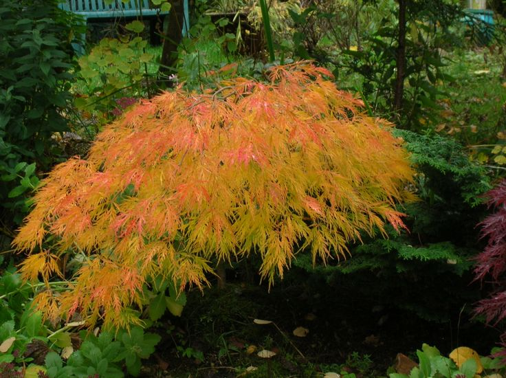 Acer palmatum 'Waterfall' Small to mid size trees