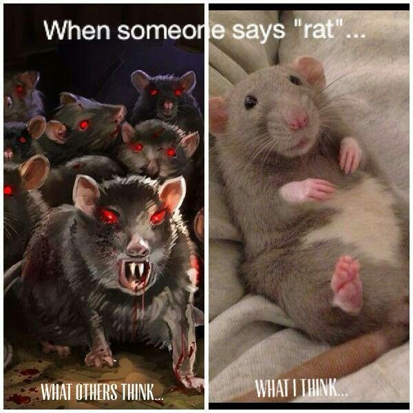 Love a rattie...i do!