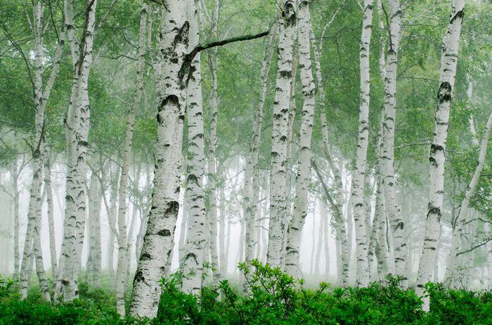 白樺の群生地として知られる八千穂高原。向かい合って位置する自然園・花木園では、美しい白樺林の中をゆっくりと散策することができます。まるで絵本の中の森に迷い込んだような、幻想的な光景ですね。途中では、美しい渓流や池も見ることができますよ。