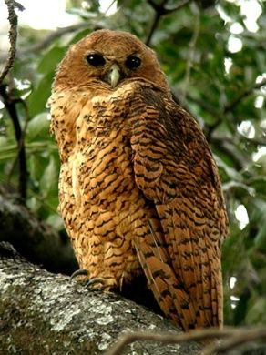 Pel's Fishing Owl  South African Owls, About Owls, Birds of Prey