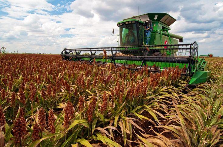 Grain sorghum is harvested on the Wilder Farms in Navasota, TX