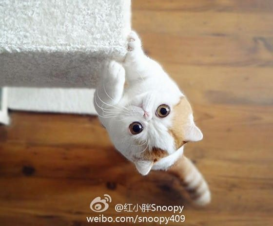 Snoopy (born on May 11, 2011) an Exotic Shorthair show cat from Chengdu, Sichuan, China, has become an international internet sensation. Within 2 months after Snoopy's photos emerged on the web, he had gained tens of thousands of followers. Fans created tumblr and instagram accounts for Snoopy, but ...
