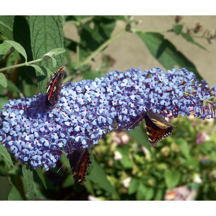 Buddleja 'Buzz™ Sky Blue'