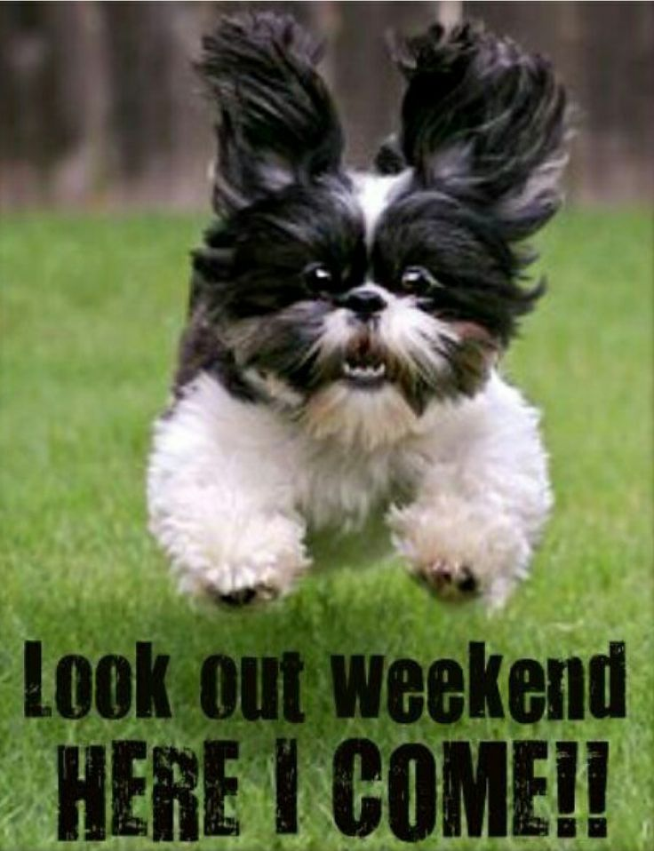Image result for happy weekend shih tzu pic