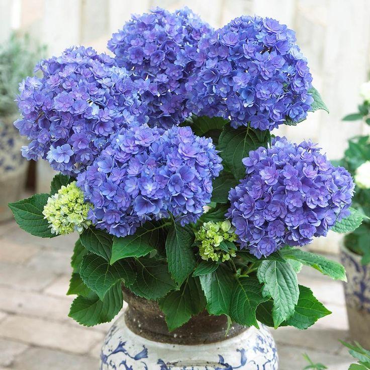 Plant Hydrangeas: 17 Best Images About Hydrangea