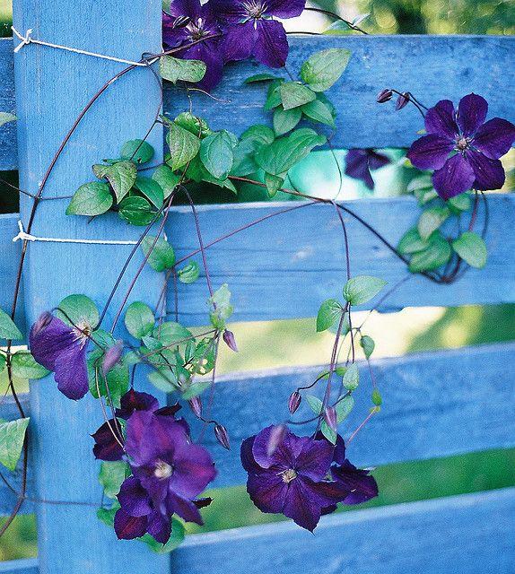 purple Morning Glory climbing blue fence