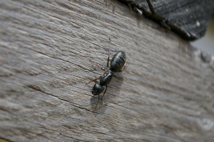 Carpenter ants may be may be small in stature, but their damage can be destructive. Get tips on home remedies for getting rid of these pests in the following article. Read here for more information.
