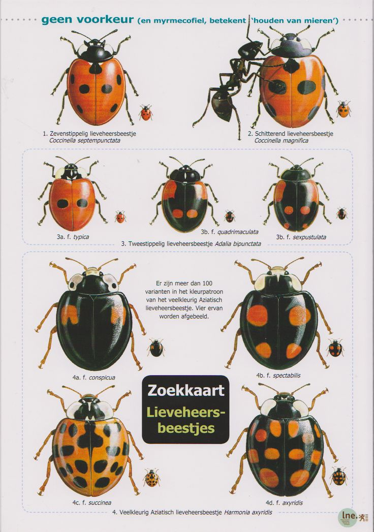 Zoekkaart Lieveheersbeestjes