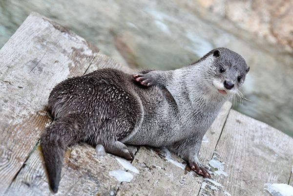 Otter strikes a swimsuit model pose - January 29, 2018