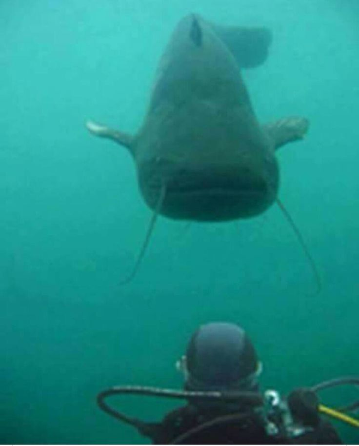 Picture taken at Possum Kingdom Lake Dam by diver cleaning out the flow vents. Even the catfish are bigger in TX!