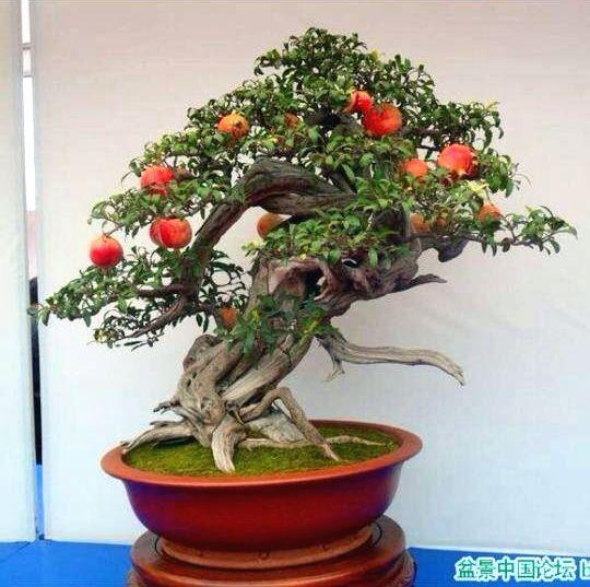128 best images about bonsai fruit on pinterest trees