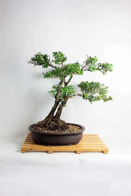 Best f bonsai carving deadwood jin shari images on