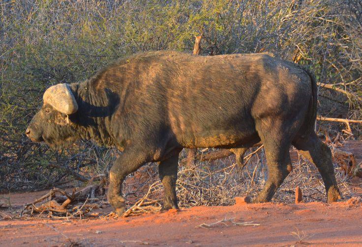 Male buffalo in Madikwe, South Africa. #Buffalo #Bøffel #BigFive #MadikweGameReserve #MadikweRiverLodge #MarcoPolo #MyPlanet #HenryRasmussen