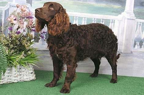 American Water Spaniel was declared the official state dog of Wisconsin in 1985 and was developed in the state of Wisconsin during the 19th century from a number of other breeds, including, the Irish and English Water Spaniels. The breed was saved by Dr. Fred Pfeiffer, who set up the breed club and standard.  Though they are recognized by the UKC and the AKC, they remain a rare breed.