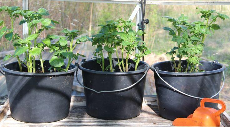 Något man kan göra nu under vintern är att fixa tomathinkarna med bokashijord redan nu till nästa sommar. Svårt är det inte och jag lovar, man känner sig så himla duktig när våren väl kommer och al…