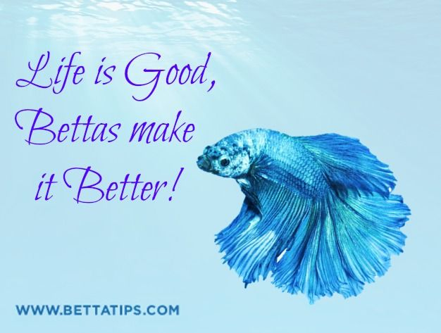 17 best images about betta love on pinterest reasons to for What is the lifespan of a betta fish