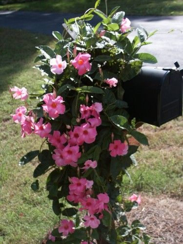 """Mandevilla.  Awesome flowering annual vine that comes in many colors.  Great site that tells you how to """"perennial-ize"""" them."""
